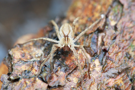 wolf spider: wolf spider Lycosidae, selective focus on head, macro