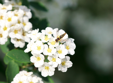 syrphidae: Spilomiya big-eyed Spilomyia diophthalma, a family of flies, hoverflies Syrphidae on white bird cherry flowers