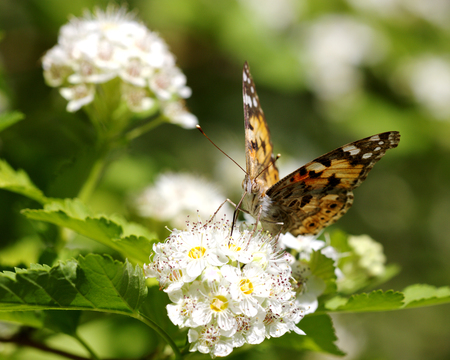 pokrzywka: Butterfly urticaria sits on a white flower, selective focus