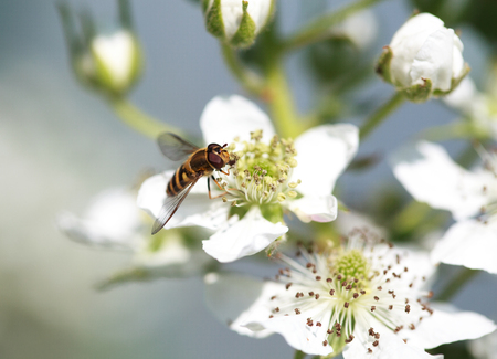 syrphidae: Spilomiya big-eyed Spilomyia diophthalma, a family of flies, hoverflies Syrphidae on white raspberry flower