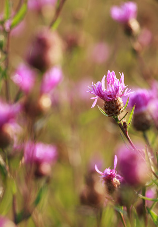 centaurea: Meadow with pink cornflowers Centaurea dealbata Willd. at sunrise, selective focus on one flower Stock Photo