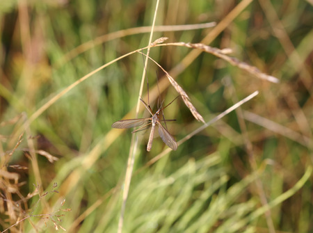tipulidae: Brown tipula on grass by summer day, selective focus