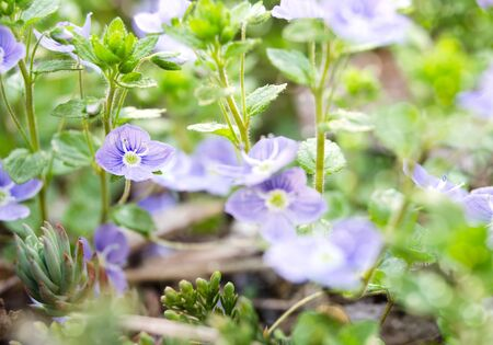 veronica flower: blue flowers of Veronica chamaedrys Germander Speedwell, Birds-eye Speedwell, selective focus, one flower in focus, the others are not
