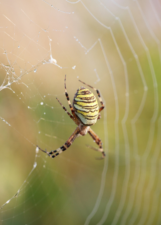 arachnophobia: A wasp spider Argiope bruennichi at dawn sitting on a web with dew drops, selective focus on back