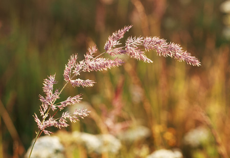 bluegrass: Bluegrass plant Poa with dew drops at dawn, selective focus on some inflorescences