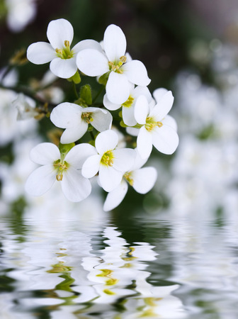 water cress: White arabis caucasica flowers and water reflection, selective focus, some flowers in focus, some are not Stock Photo