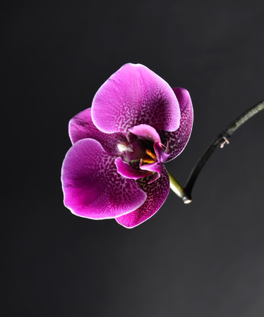 day spa decor purple orchid on a black background selective focus space for: day orchid decor