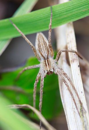 wolf spider: wolf spider Lycosidae, selective focus on face, close-up Stock Photo