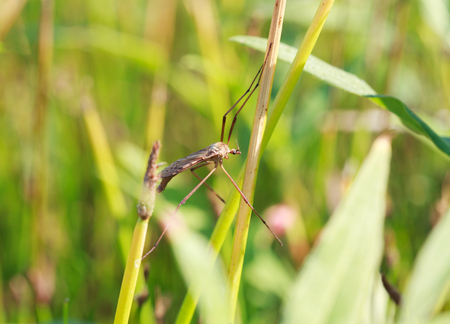 culicidae: A mosquito nematocera Tipulidae or tipula on grass, on green background