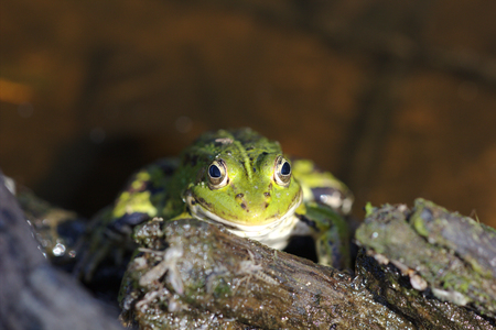 lessonae: Head of green water frog Rana lessonae, close up, selective focus Stock Photo