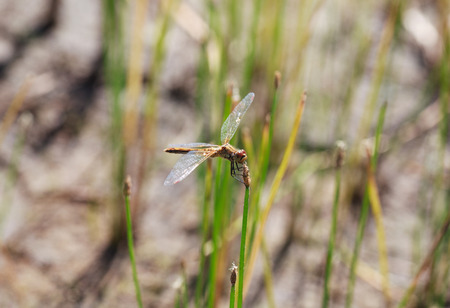 libellulidae: Brown dragonfly Aeschna grandis sitting on a on a horsetail, minimalism, selective focus and place for text