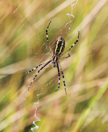 bruennichi: A wasp spider Argiope bruennichi at dawn sitting on a web with dew drops, selective focus and place for text