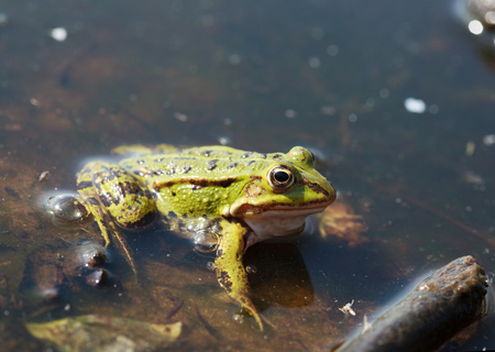 lessonae: Head of green water frog Rana lessonae with a small midge on the head, close up, selective focus on head