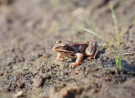 rana: Brown frog Rana temporaria or European Common Frog sitting on the sand, selective focus on head