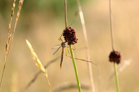 tipulidae: A mosquito nematocera Tipulidae or tipula on grass, on green background