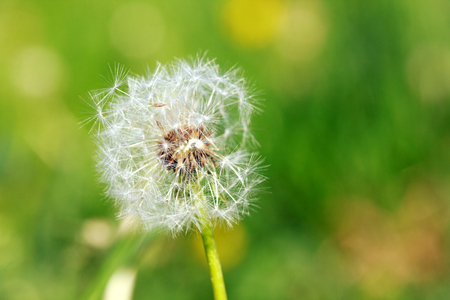 airiness: macro photo of old white dandelion on green background, selective focus