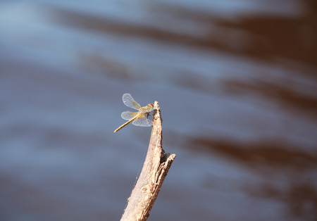 libellulidae: Brown dragonfly Aeschna grandis sitting on an old tree, minimalism, selective focus and place for text Stock Photo