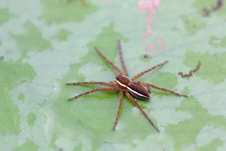 arachnida: Closeup of water spider Aranei, Argyroneta aquatica sitting on green candock leaf, selective focus