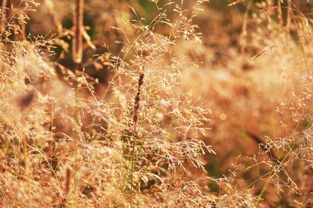 fescue: Dry grass fescue Festuca arundlnacea at sunrise, selective focus on some of the branches Stock Photo