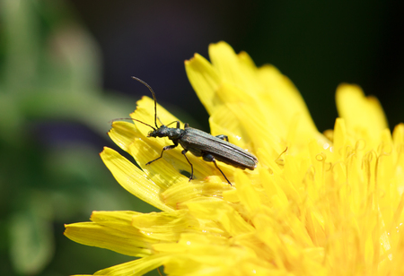 longhorned: Long-horned beetle closeup on the leaves of a yellow dandelion, selective focus