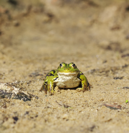 lessonae: Head of green water frog Rana lessonae on the sand, close up, selective focus