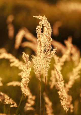 fescue: Meadow fescue grass Festuca ovina at sunset, selective focus on some branches