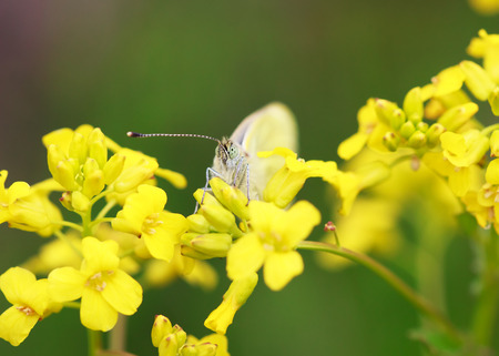 pieris: White butterfly Pieris brassicae on a wild yellow flowers, selective focus on face, macro