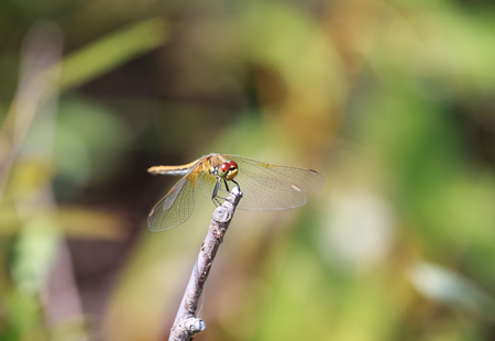 libellulidae: Brown dragonfly Aeschna grandis sitting on a wooden stick, close-up, selective focus Stock Photo