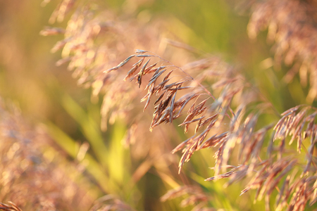Dry Bromus inermis grass at sunset, selective focus on some branches, close up Stockfoto