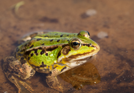 lessonae: Head of green water frog Rana lessonae, close up, selective focus on head