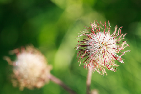 trifolium repens: Dried grass Geum urbanum at dawn with dew drops, selective focus, macro