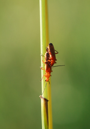 militaire sexy: A pair of common red soldier beetles Rhagonycha fulva mating on the grass, select focus, close-up