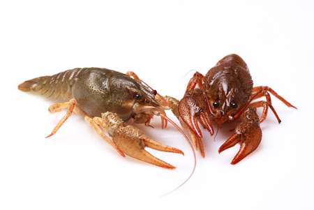 fluvial: Two alive crayfishes on a white background, selective focus on eyes