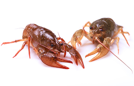 alive: Two alive crayfishes on a white background, selective focus on eyes of left one