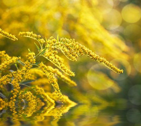 goldenrod: Goldenrod flower or Solidago Canadensis, honey plant on sunset and water reflection, selective focus
