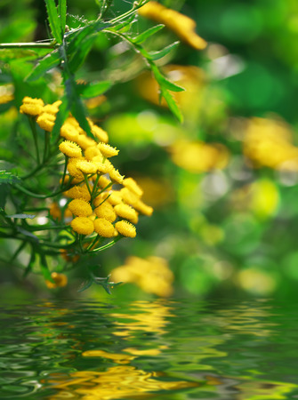 yellow flowers of Helichrysum arenarium and water reflection, selective focus, place for text Stockfoto