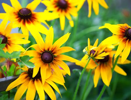 bright eyed: Bright yellow rudbeckia or Black Eyed Susan flowers in the garden, summer, some flowers in focus, some are not