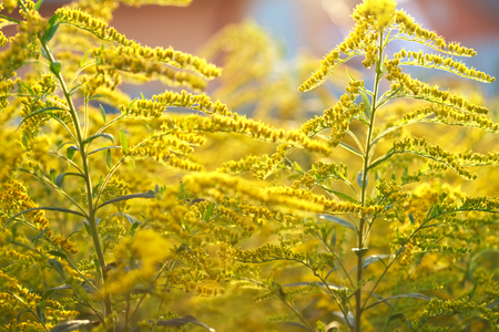 canadensis: Background, Goldenrod flower or Solidago Canadensis, honey plant, sunset, close-up, selective focus