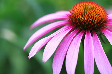 Blooming medicinal herb echinacea purpurea or coneflower, close-up, selective focus Stock Photo