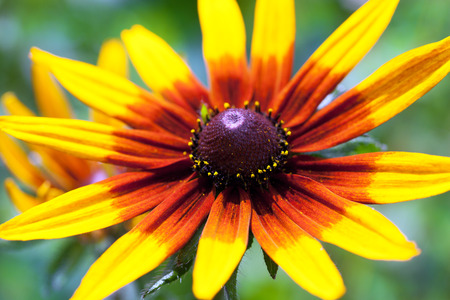 bright eyed: Bright yellow rudbeckia or Black Eyed Susan flower in the garden, summer, macro, selective focus Stock Photo