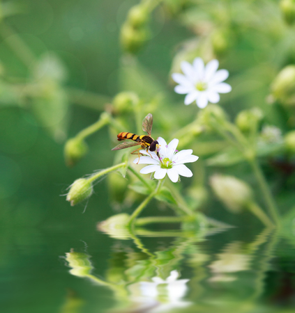 syrphidae: Spilomiya big-eyed (Spilomyia diophthalma), a family of flies, hoverflies (Syrphidae) on white flower and reflection in water Stock Photo