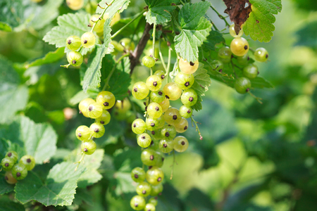 gauzy: Branches and bunches of unripe white currants on a bush close-up, Some berries are in focus, the other are slightly out of focus.
