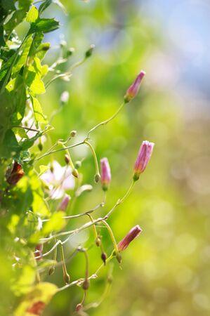convolvulus: Field pink Bindweed (Convolvulus arvensis) flower, selective focus