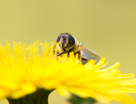 campestris: Macro shot of a hoverfly (Rhingia campestris ) sitting on a flower, copy space Stock Photo