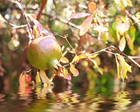 improved: unripe wild green pomegranate on a tree on a sunny day, selective focus. Photo improved by water with reflection Stock Photo