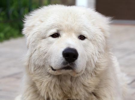 sheepdog: Maremma or Abruzzese white sheepdog Portrait close-up Stock Photo