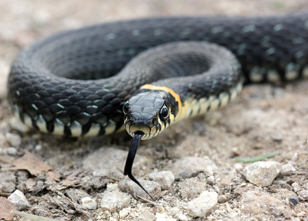 sliding scale: head of Grass snake with his tongue hanging out crawling on the ground, close up, selective focus Stock Photo