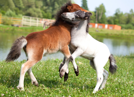 mini farm: Two mini horses Falabella playing on meadow in summer, bay and white, selective focus