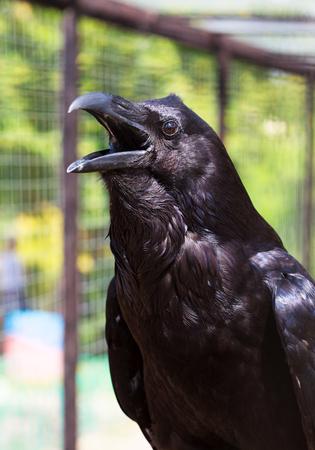 black raven: Black raven with open beak, selective focus