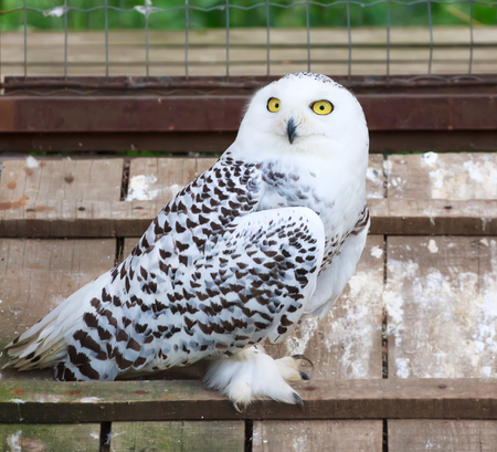 lurk: Snowy white owl with yellow eyes sitting in cage